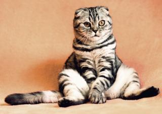 embarazo-en-gatos