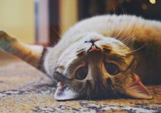 Envenenamiento de gatos
