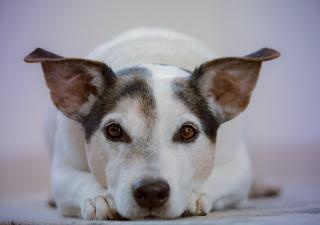 Esterilización en perros