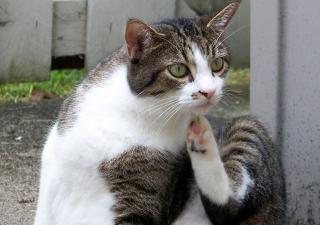 Alergia gato