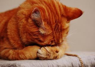 Diarrea gatos