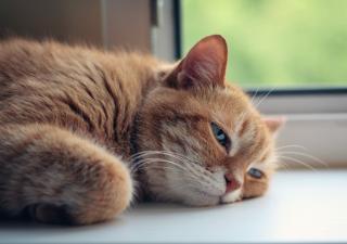 Golpe de calor en gatos: causas, síntomas y soluciones