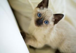Gato siamés pequeño
