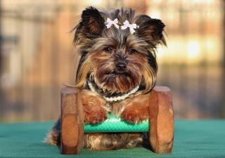 Concursos belleza perros