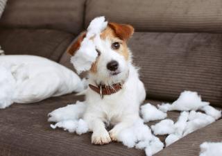 Perro haciendo trastada en el sofa