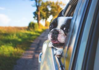 perro-coche
