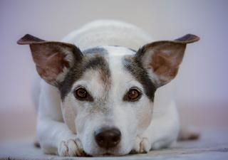 perros-con-artritis