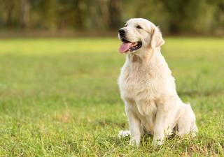 hotl canino