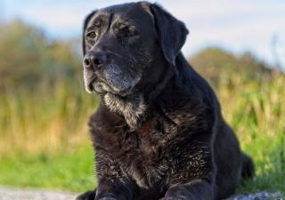 perro mayor con dolores articulares