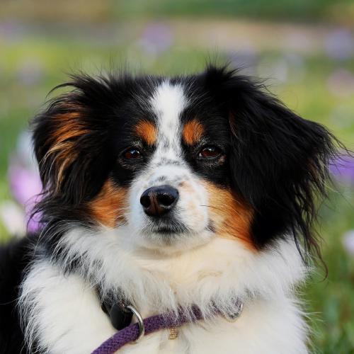 Adopcion en perros (Fuente: Pixabay-coleur)