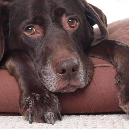 perro con enfermedad articular