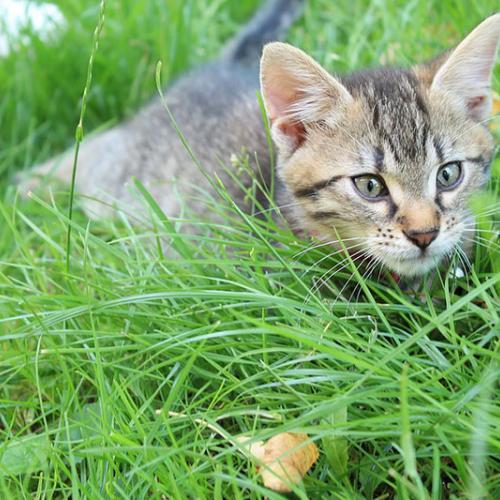 gato_cazador