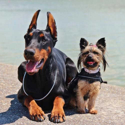 orejas-perro