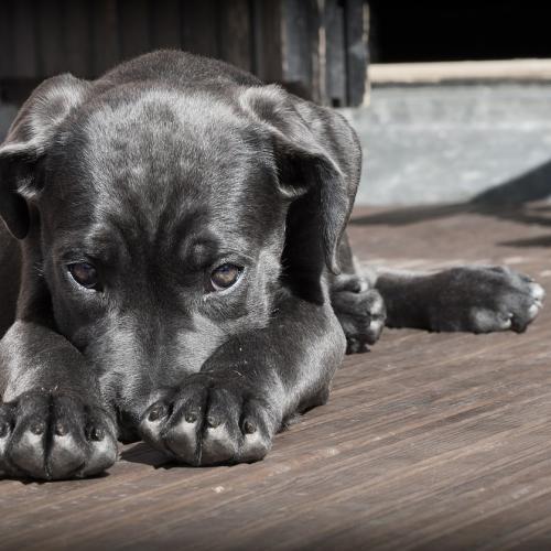perro cancer