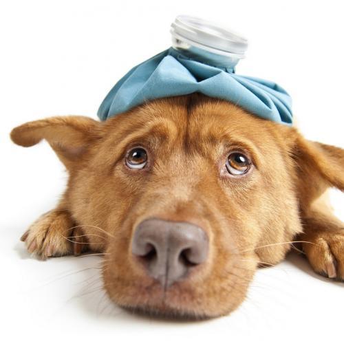 perro-enfermo