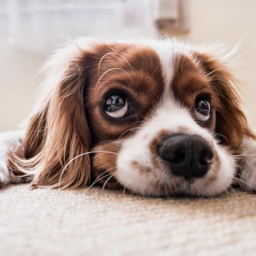 sensibilidad-de-los-oídos-de-las-mascotas-con-los-ruidos.png