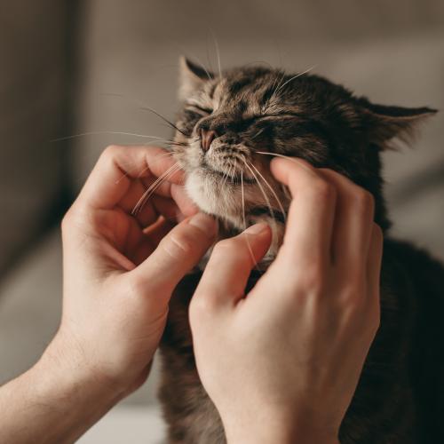 gato muerde cuando le acaricias