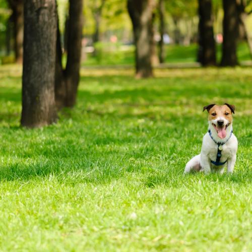 procesionaria en perros