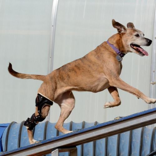 osteoartritis en perros